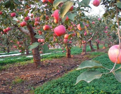 滴灌带厂家石家庄井陉拉花风景区苹果小管出流项目