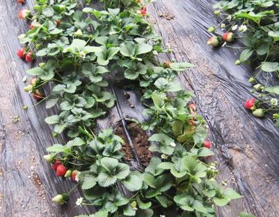 滴灌带厂家温室草莓膜下滴灌